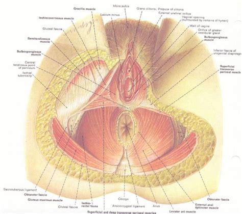 muscoli pavimento pelvico pavimento pelvico la riabilitazione e gli esercizi post parto