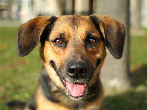 Bagelen Mix benny beagle mix