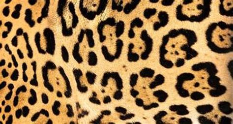 jaguar pattern house cat do you know your big cat species mnn mother nature