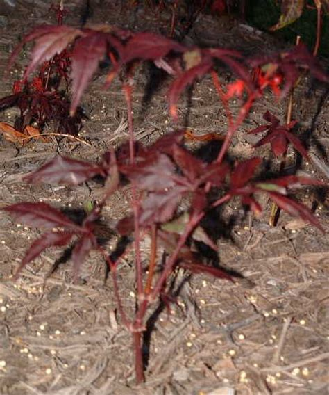 image gallery maple seedlings
