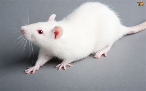 about pet some and interesting facts about rats pets4homes
