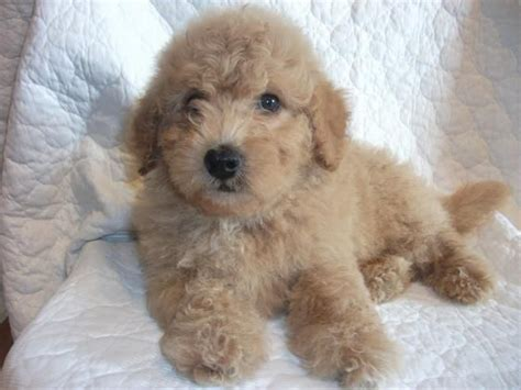 golden cocker retriever hypoallergenic 30 best images about golden doodle pups on poodles miniature and cocker