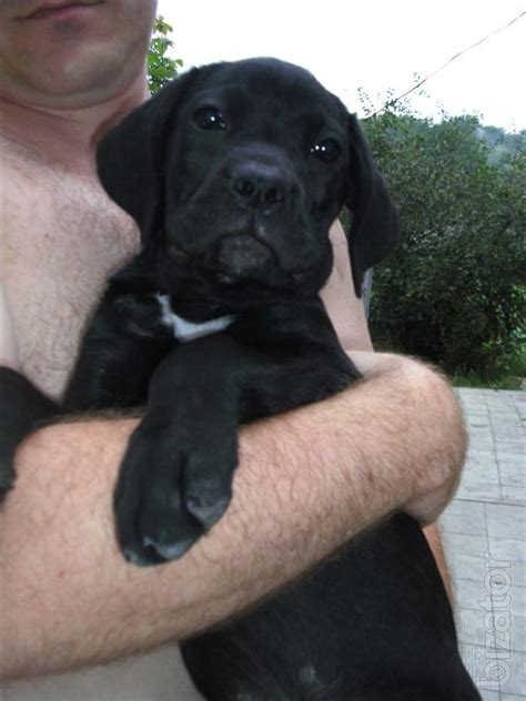 elite puppies large elite puppies corso buy on www bizator