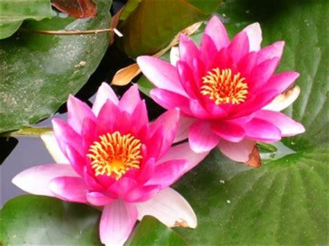 immagini di fiori di loto il fiore di loto origini habitat e caratteristiche