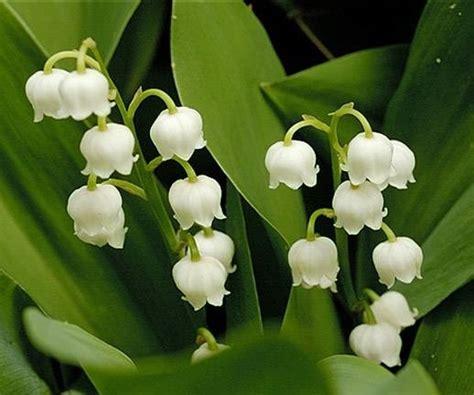 fiori di mughetto mughetto bulbi