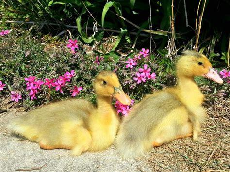 Small Backyard Decks Patios How To Raise Ducklings Hgtv