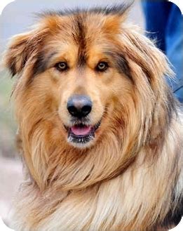 malamute golden retriever mix mammoth adopted pawling ny tibetan mastiff golden retriever mix