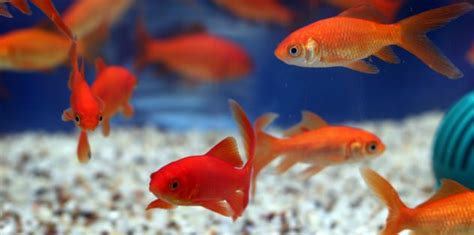 Ocean Decorations Goldfish Care Benefits 8 Reasons Why Goldfish Are Good
