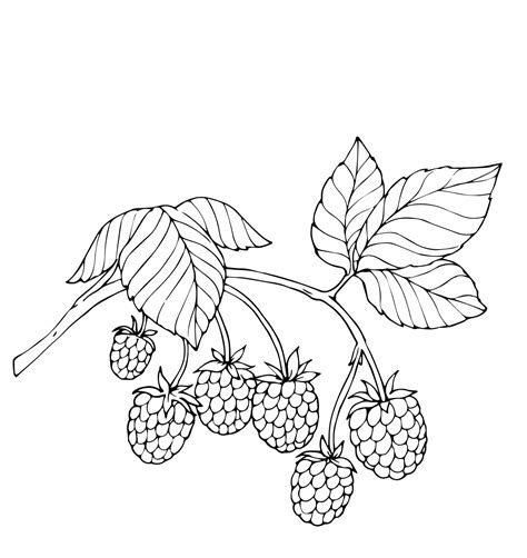 berries coloring pages    print