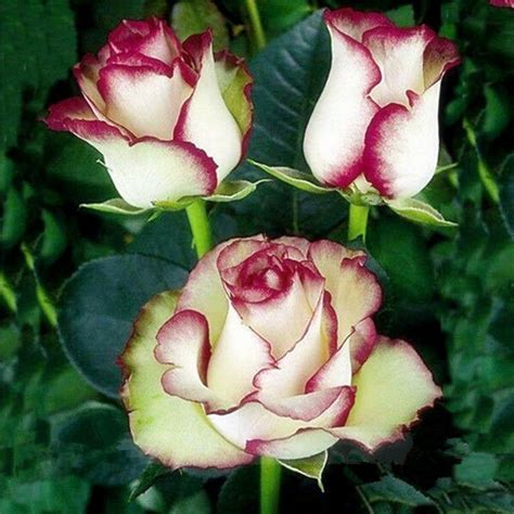 Swept-Away-Rose-Seeds-It-flowers-the-same-color-as-Fire ... Fire And Ice Roses
