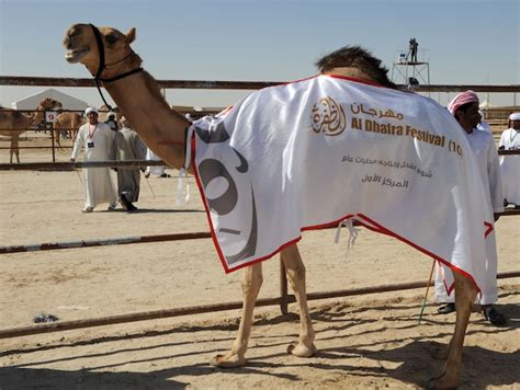 Feast Of Contest Mound 7 by Winners Of Camel Contest At Dhafra Festival Crowned