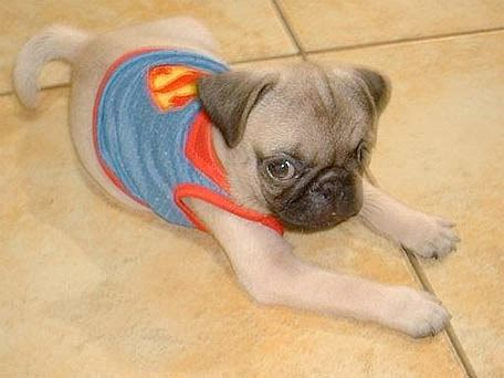 spider pug costume pugs in costumes because you you want to see it