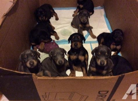 blue doberman pinscher puppies for sale akc doberman pinscher puppies for sale for sale in clearville pennsylvania classified