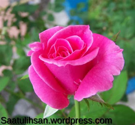 Renda Mawar S 2 heterogen of information arti yang dimiliki oleh setiap warna bunga mawar