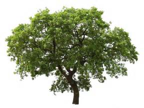 tree images tree png images pictures download free