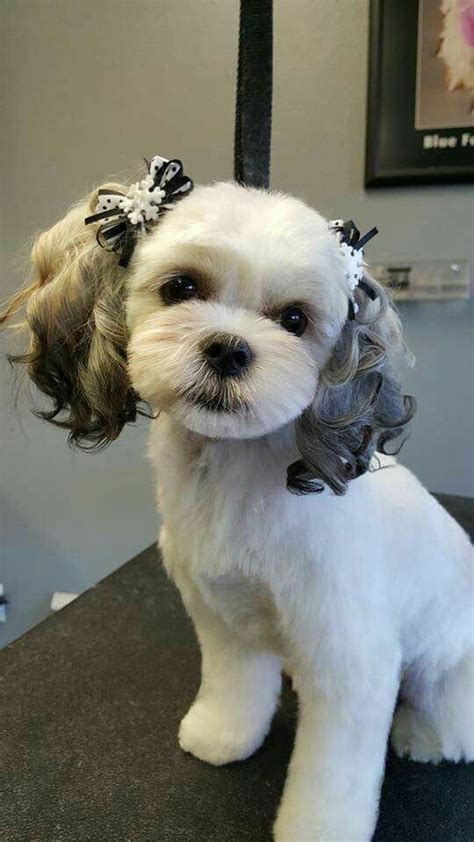 maltese haircut styles pictures best 25 dog haircuts ideas on pinterest maltese haircut