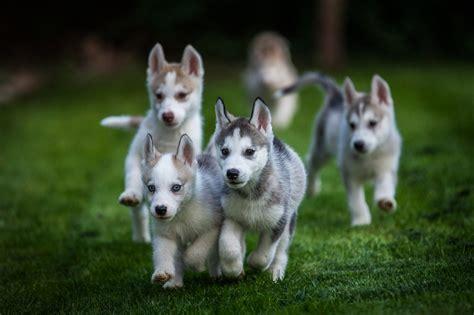 puppy running husky puppies hound tog
