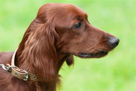 red setter dog temperament irish setter