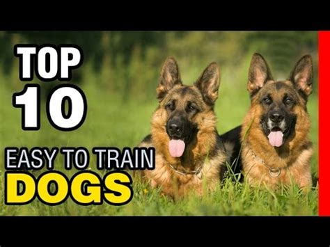 easiest dogs to house train top 10 easy to train dog breeds youtube