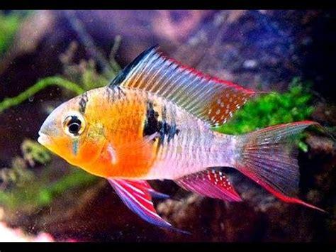 ram fish bolivian ram fish