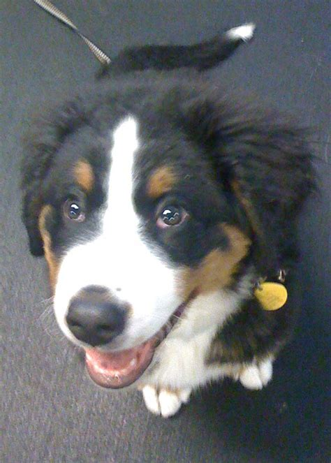 seattle puppies seattle puppy play classes socialization manners service academy