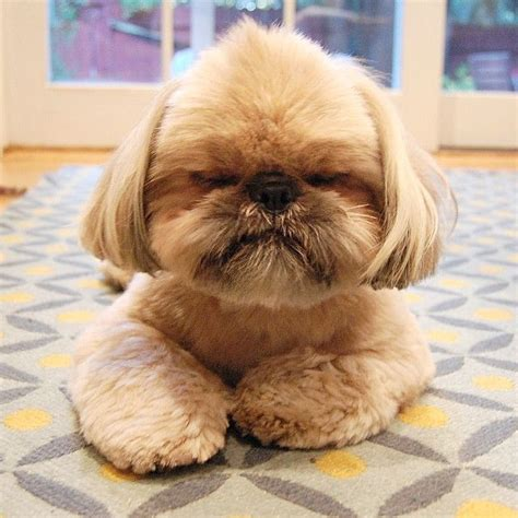 shih tzu not feeling well 1844 best images about shih tzu rock on shih tzu breeders pets and puppys