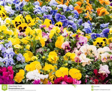 panse fiore fiori della pans 233 immagine stock immagine di botanica