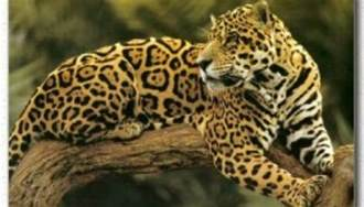 Jaguar Breeds Jaguar Facts Big Cat Rescue