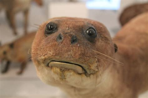 Bad Taxidermy Meme bad taxidermy otter blank template imgflip