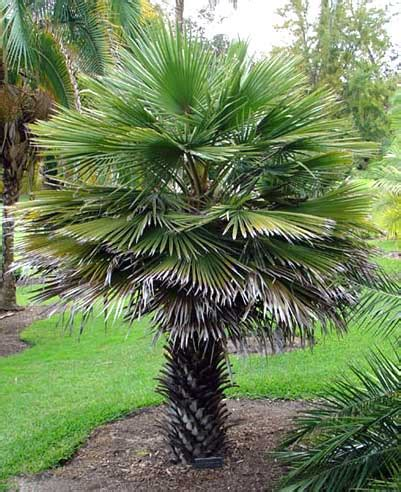 Pohon Pohonan Palm Palem 15cm palem moleri palmpamela