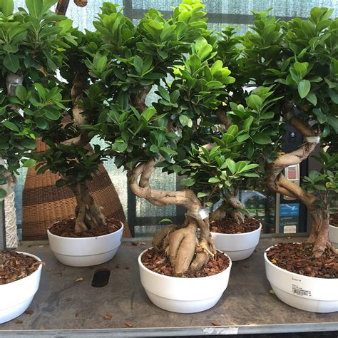 bonsai da appartamento ficus bonsai vendita flority fair
