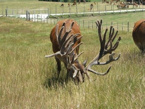 Deer Rack In The World by Elk In The World Displaying 16 Gallery Images