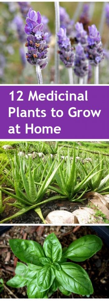 medicinal plants  grow  home bless  weeds