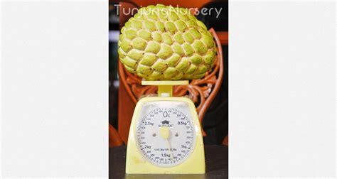Harga Bibit Kelengkeng 2018 srikaya rovi berat mencapai 1 4 kg tunjung nursery
