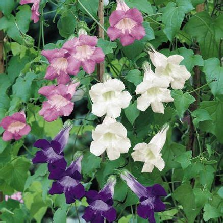 flowering vine seeds swallowtail garden seeds