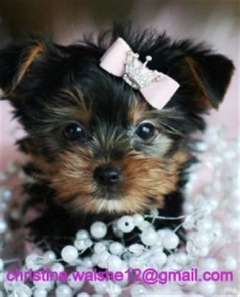 teacup yorkie puppies kentucky free teacup yorkies louisville ky breeds picture