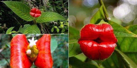 Bunga Siap Jadi Perpot ragam psychotria elata inilah bunga yang selalu siap dikecup vemale
