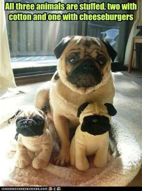 where do pug dogs come from 1000 images about pugs on pug a pug and the pug