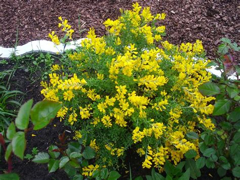 Identification What Is This Yellow Flowering Mounded Identify Garden Flowers