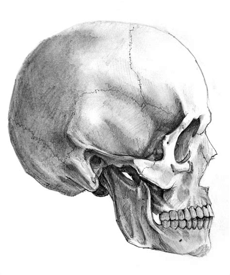 Skull Side View Drawing human skull side view drawing