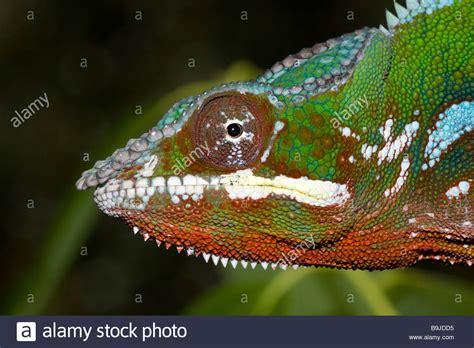 Chameleon Headl panther chameleon madagascar stock photo royalty free image 23147969 alamy