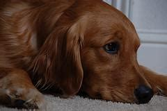 golden retriever ear infections ear infection and problems to for