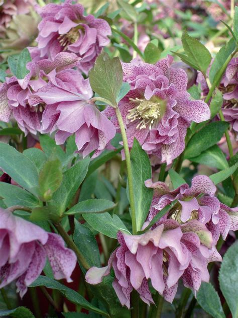 helleborus nurseries canada top 5 plants for small gardens the garden