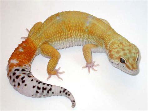 Baby Leopard Gecko Shedding by 100 Do Baby Leopard Geckos Shed Hatchling Leopard