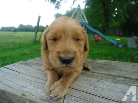 golden retriever puppies in arkansas akc golden retriever puppies for sale in canehill arkansas classified