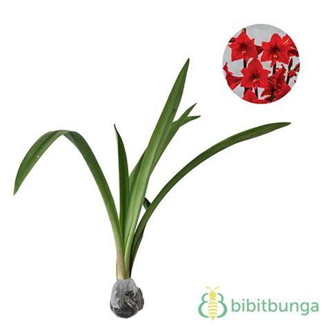 Bibit Amaryllis By Gerai Bibit tanaman amarilis merah amaryllis bibitbunga