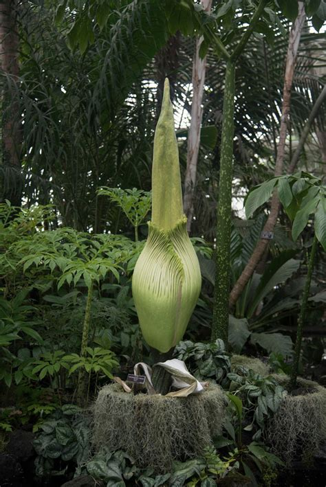 corpse flower botanical garden corpse flower blooms at botanical gardens the riverdale press riverdalepress