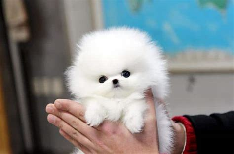 pomeranian colors white top 6 of the most popular teacup puppies breed today 187 teacupdogdaily