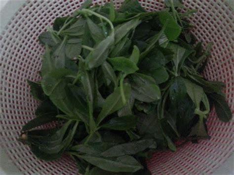 Akar Ginseng Korea kebun bahagia bersama ginseng jawa akar som jawa