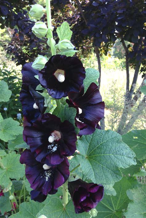 Black Flower Garden Black Hollyhock Seeds Organic Hollyhocks By Mountainlilyfarm